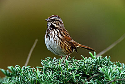 How Much Is A Crown >> Song Sparrow (Melospiza melodia)
