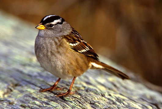 Nuttall's White-crowned Sparrow (Zonotrichia leucophrys ...