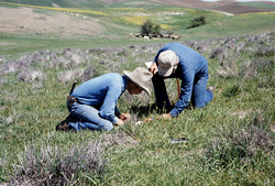 Ranchers checking for Dung Beetles in cow manure